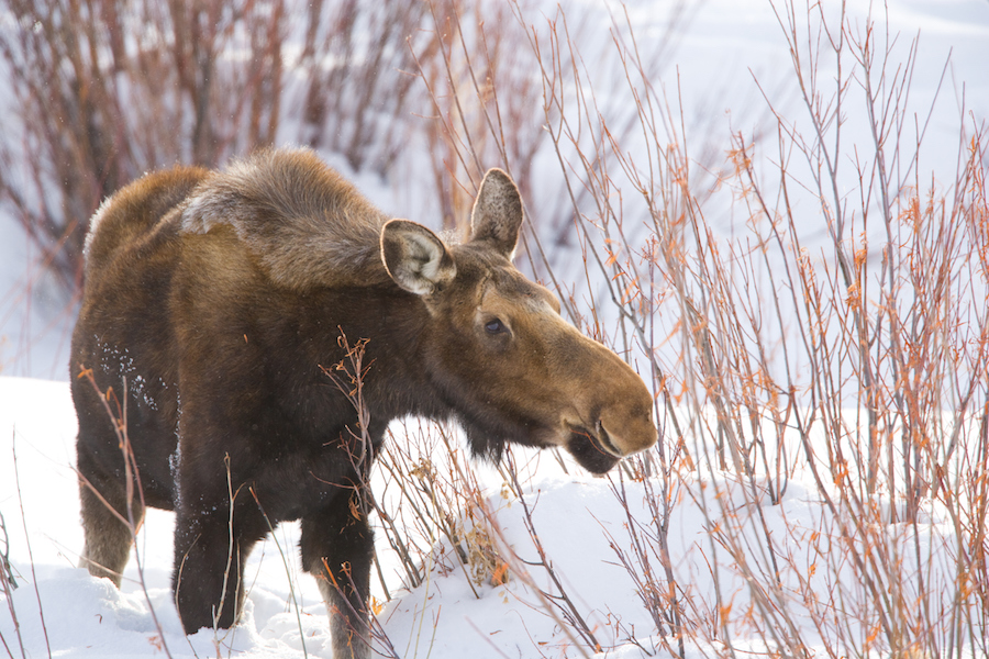 See moose and other wildlife in Wyoming with Adventures by Disney