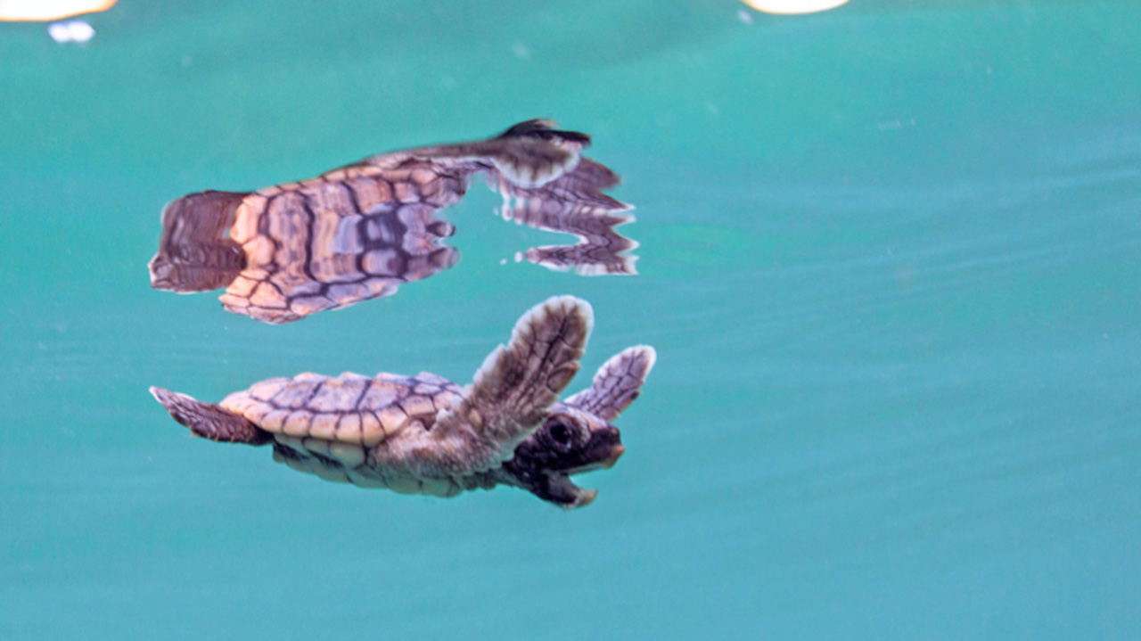 Sea Turtle Hatchlings at Disney's Vero Beach Resort