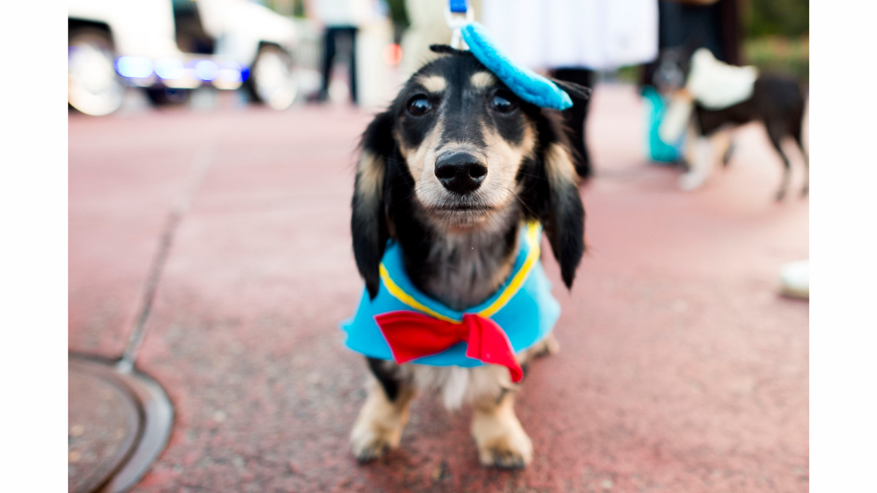 Disney dog halloween costume ideas perfect for your pet for Pet boarding near disney world