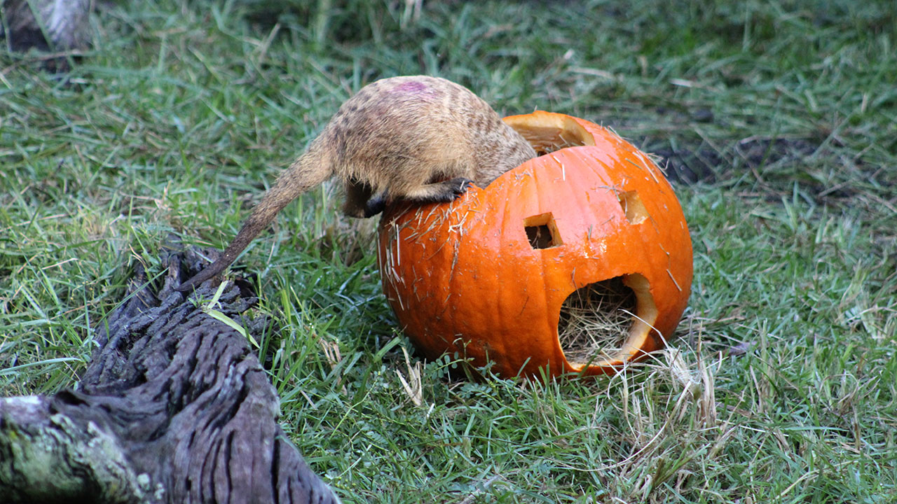 Wildlife Wednesday: Pumpkins Delight Animals at Disney's Animal Kingdom