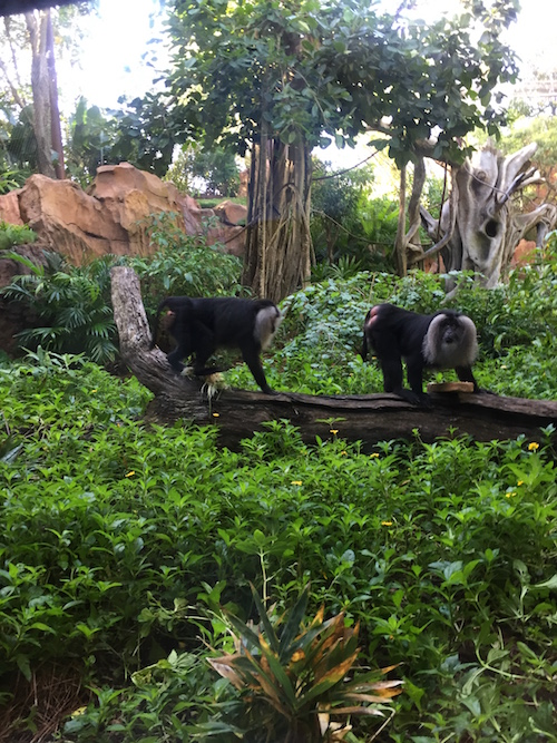 Rare Lion-Tailed Macaques Join Disney's Animal Kingdom