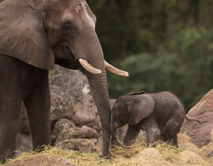Wildlife Wednesday: Elephant Calf Born at Disney's Animal Kingdom