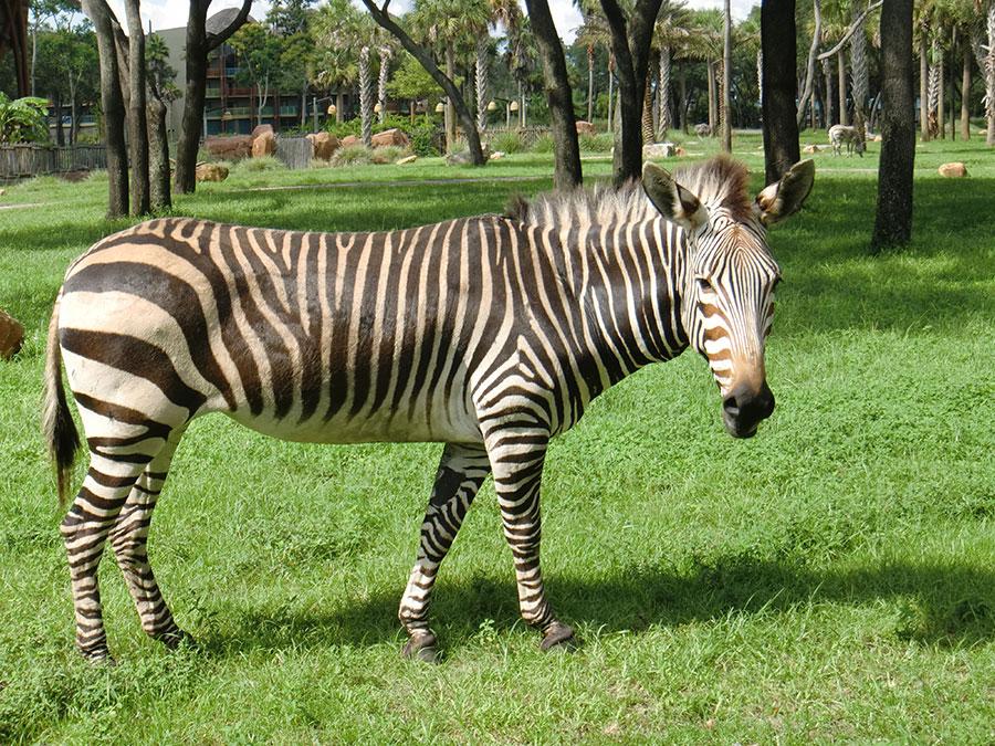 Wildlife Wednesday: Celebrate International Zebra Day