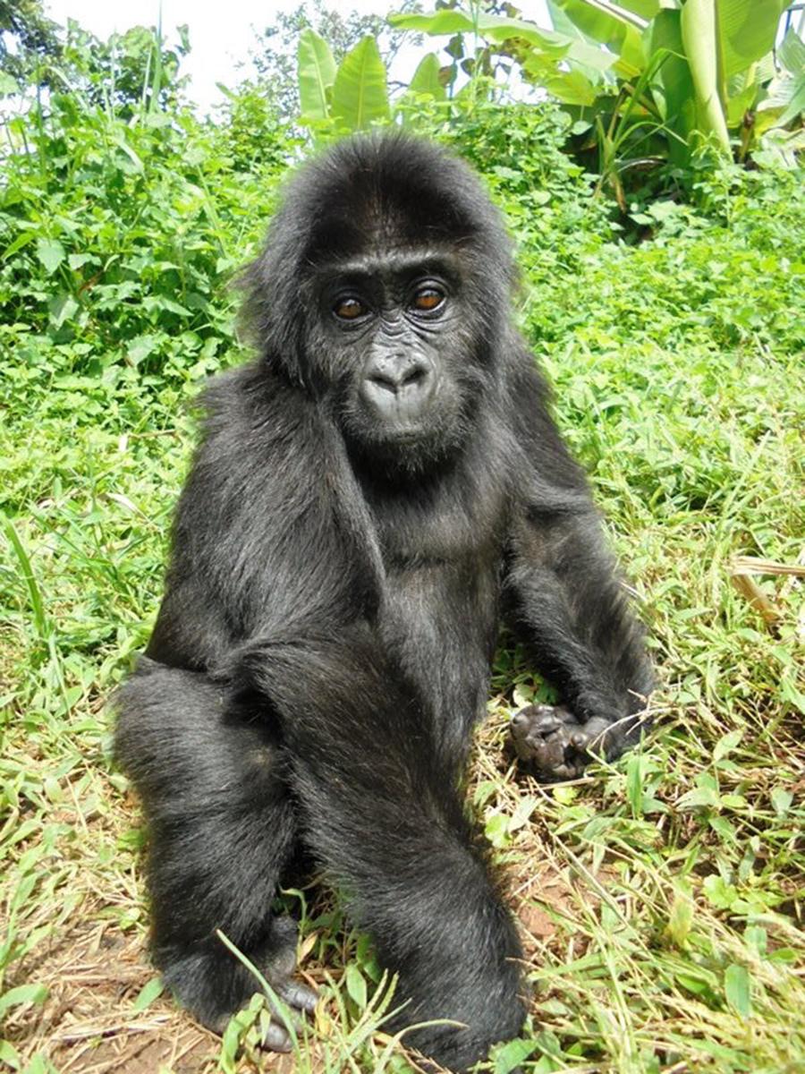 Disney Supports Gorillas in the Wild