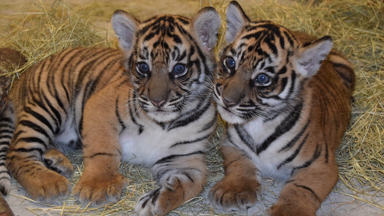 Updates on sumatran tiger cubs and conservation efforts - Show me a picture of the tiger ...