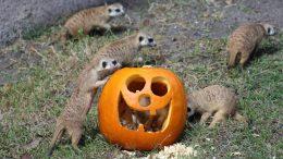 Pumpkins Add Spice to Animal Enrichment Fun