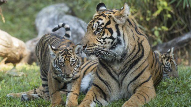 Sumatran tiger cubs at Disney's Animal Kingdom