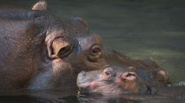 Baby Hippo at Disney's Animal Kingdom