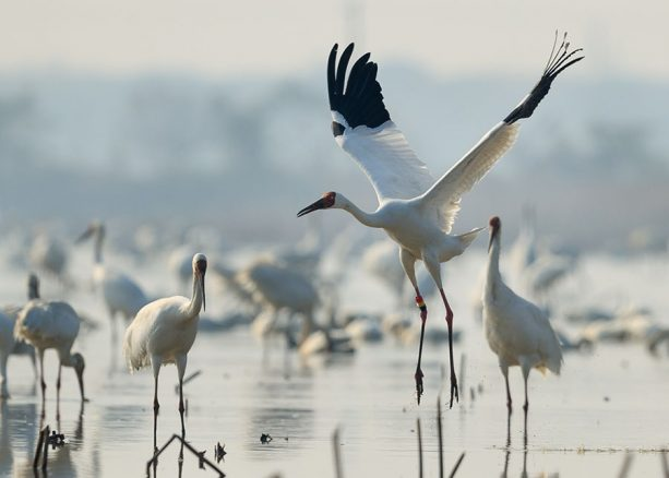 Wildlife Wednesday: Disney Helps Reverse the Decline of Siberian Cranes
