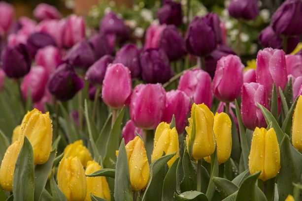Pink and yellow tulips - Downtown Disney District at Disneyland Resort