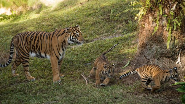 Sumatran tigers at Disney's Animal Kingdom