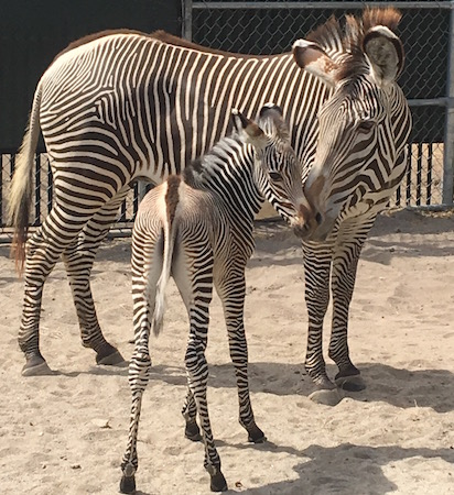 Zuri and her foal at Disney's Animal Kingdom