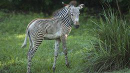 Youka, new zebra foal, Disney's Animal Kingdom