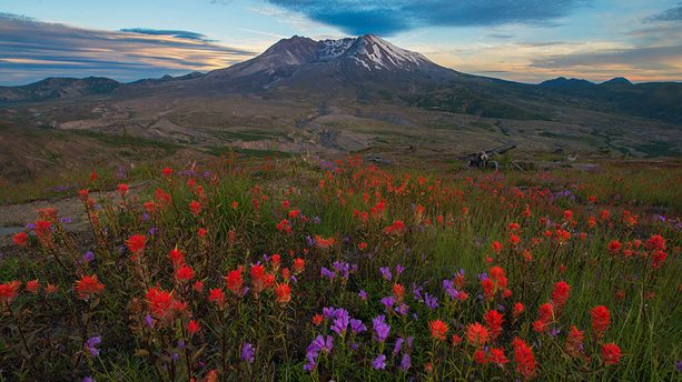Flowers in front of Mount St. Helens
