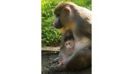 Baby Mandrill born at Disney's Animal Kingdom Park