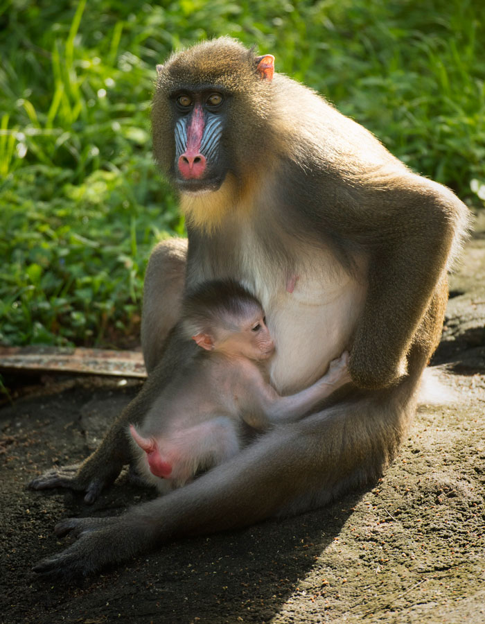 Baby Mandrill born at Disney's Animal Kingdom Park