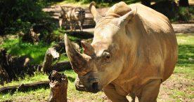Get 'Up Close with Rhinos'