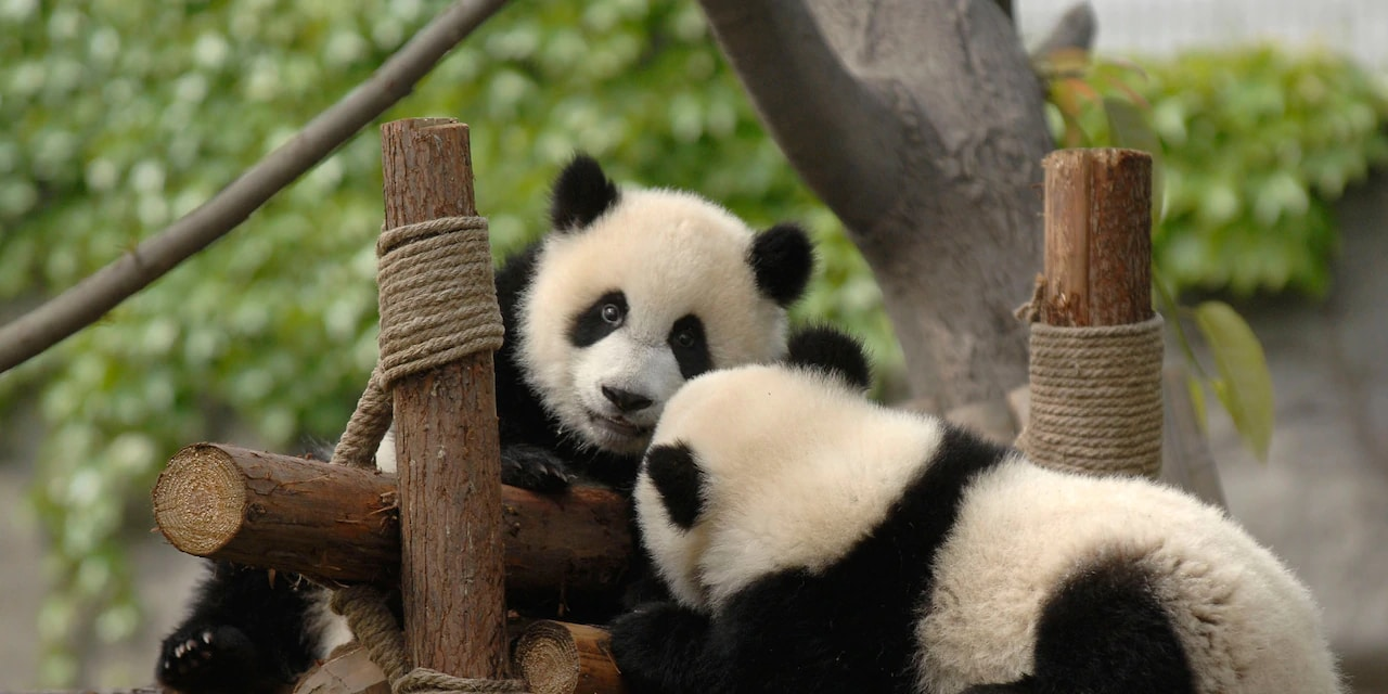 2 pandas play together on a jungle gym made of logs and rope