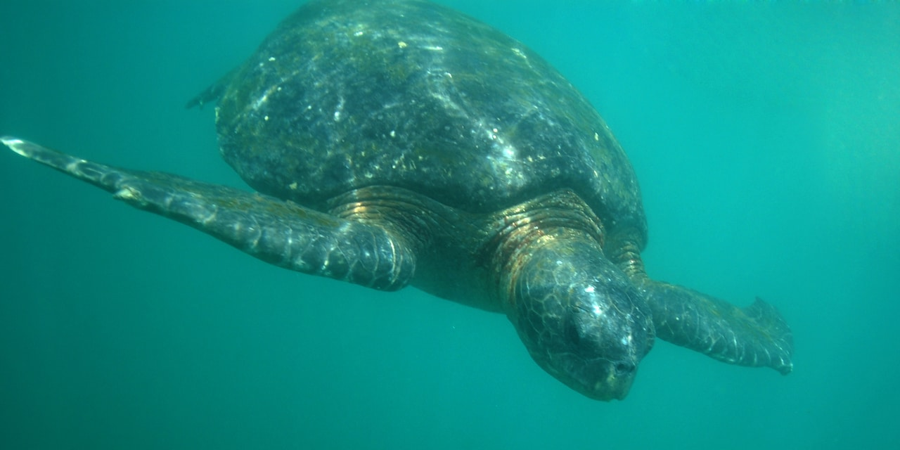 A sea turtle swims underwater
