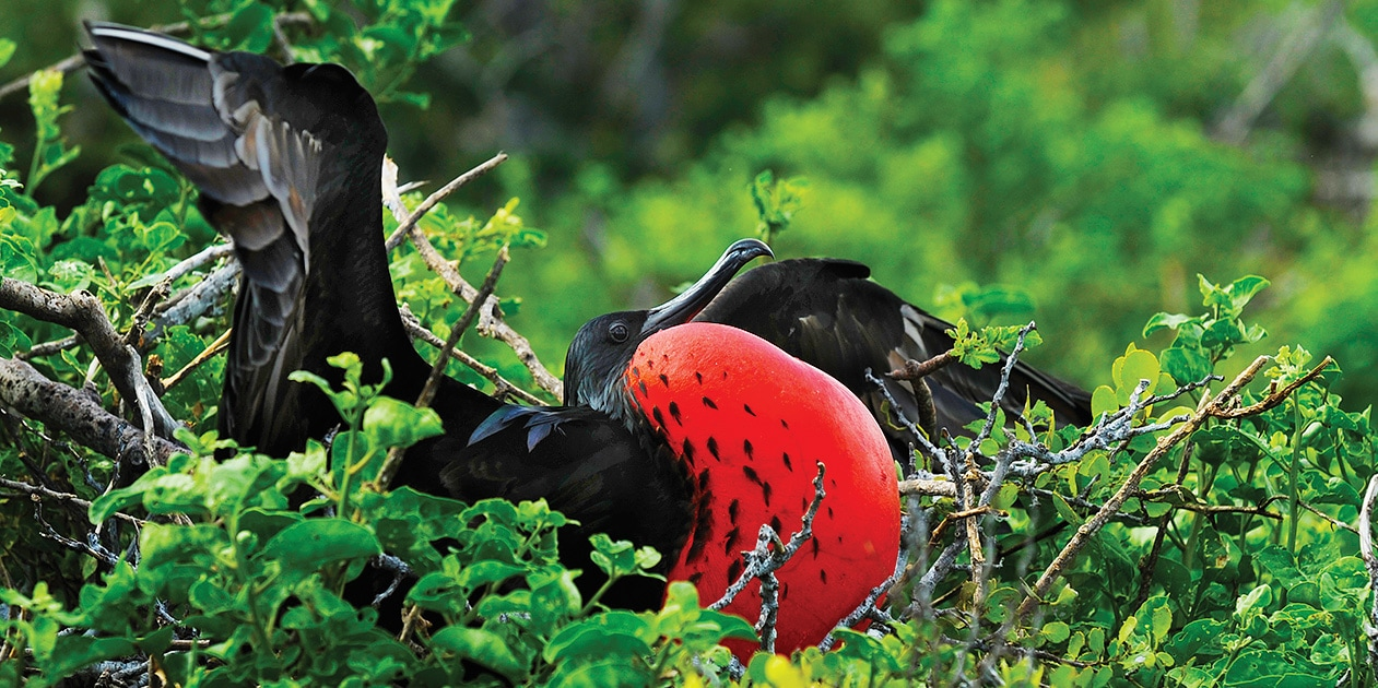 A frigate bird in a tree inflates his red throat