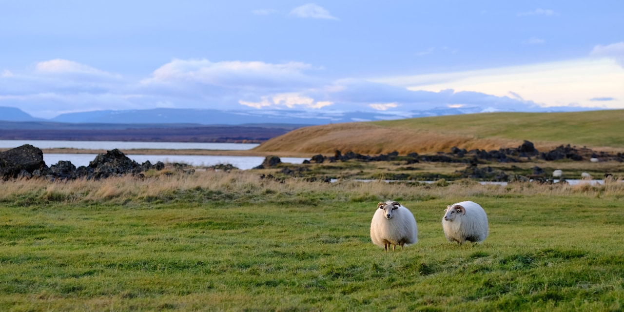 Two sheep graze in a grassy field near the water