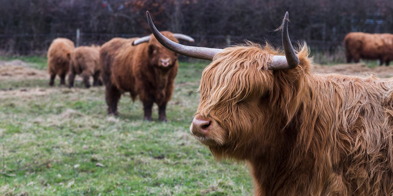 "Several Highland ""coo"" cows stand in a field"