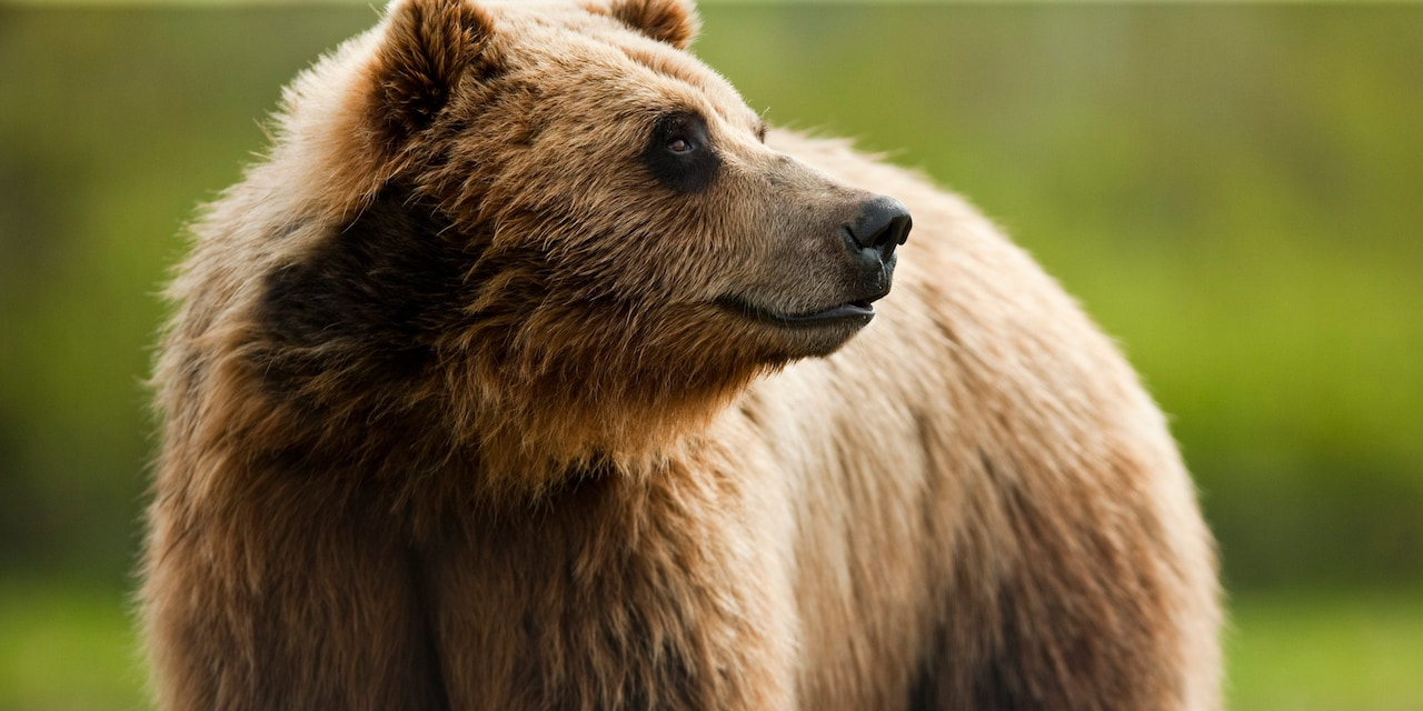 A grizzly bear looks off into the distance