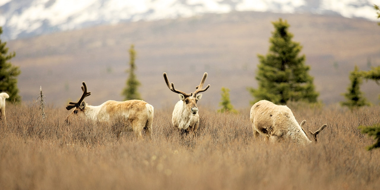 Several caribou graze on the plains
