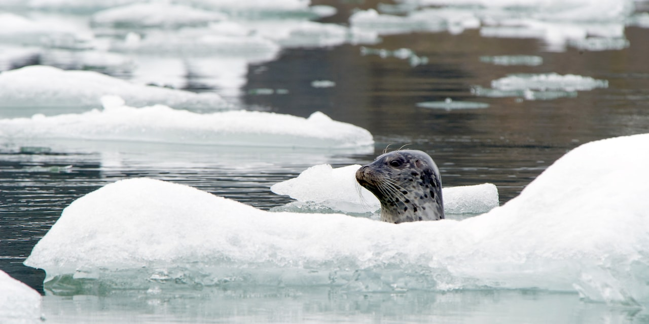 A seal sticks its head out of the water behind an ice floe