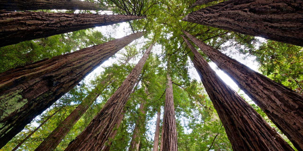 Tall redwood trees