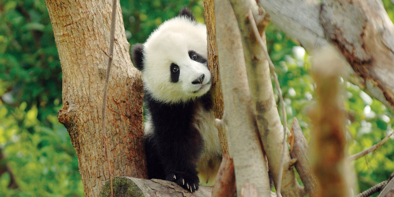 A panda bear in a tree