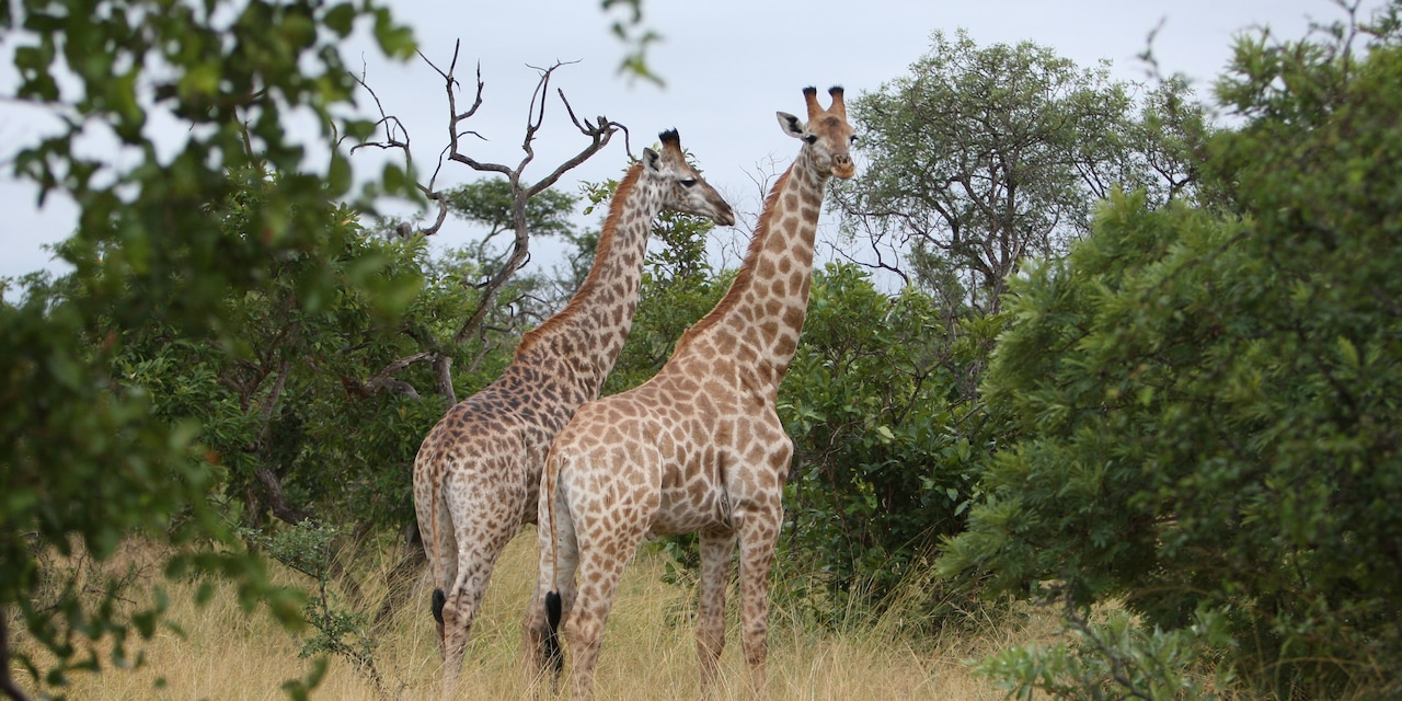2 giraffes stand in the savanna