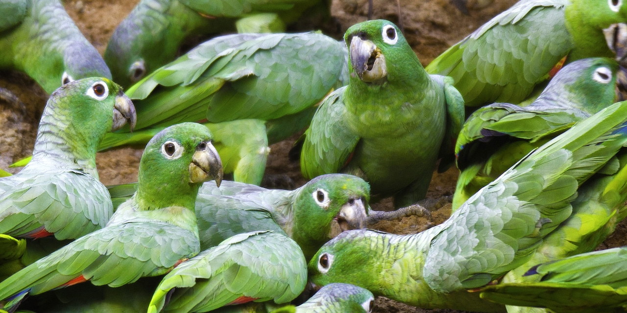 A group of parrots at a clay lick