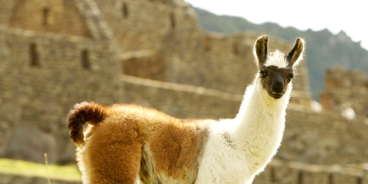 A llama stands in front of Incan ruins