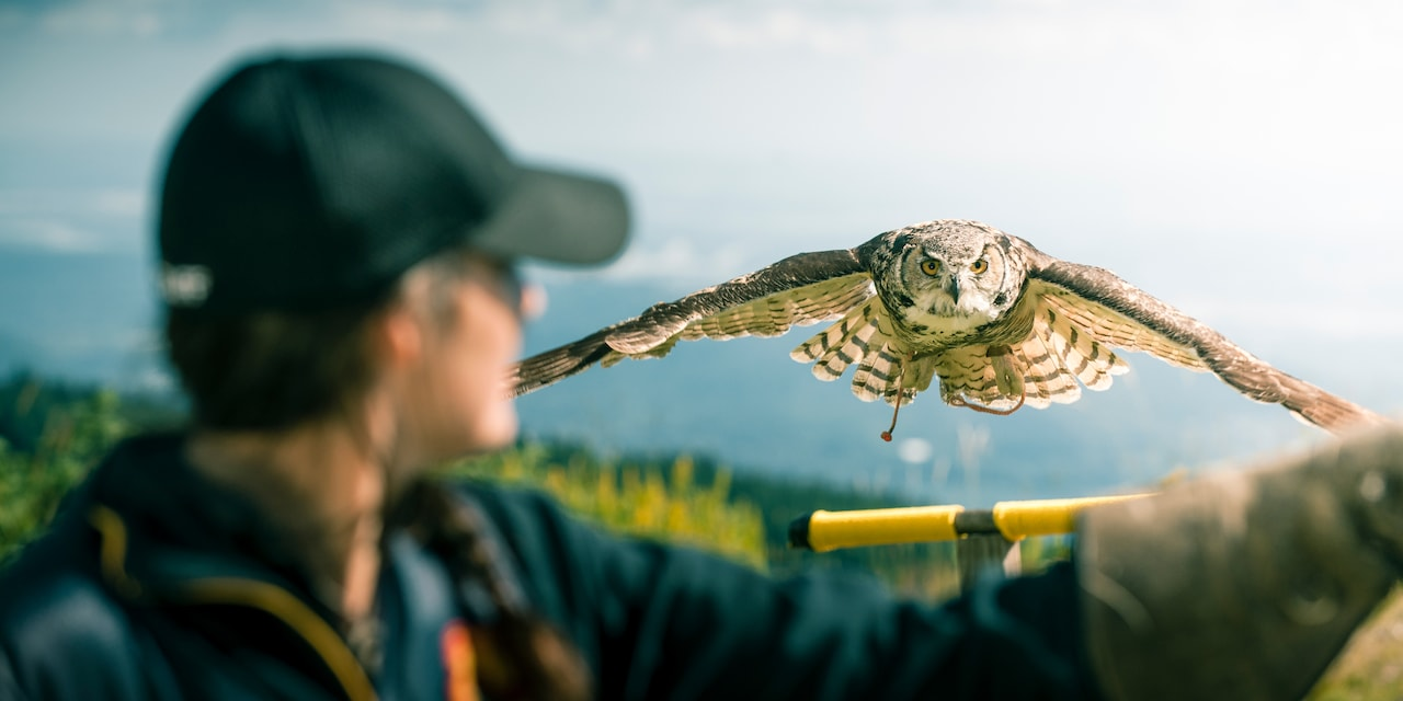 An owl flies to the outstretched arm of a trainer