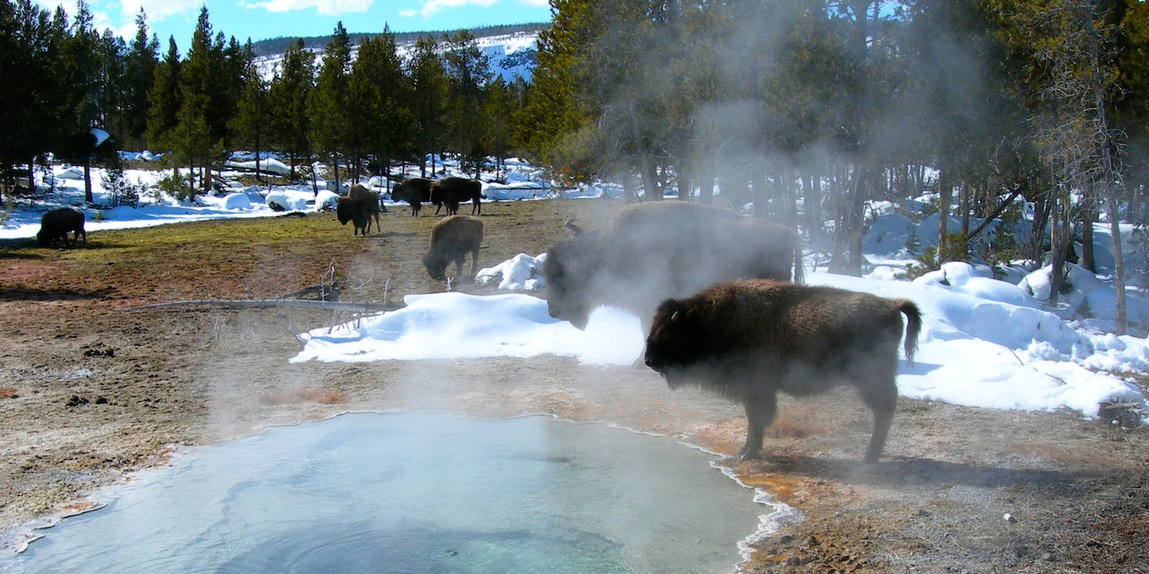 Several bison graze near steaming hot springs, surrounded by pine trees