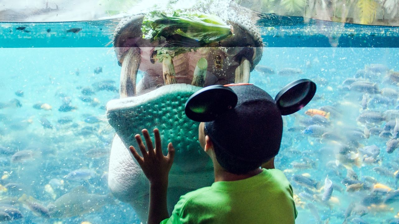A young boy with a Mickey Mouse ear hat holds with hand up to a glass wall that separates him from water, fish and a massive hippopotamus