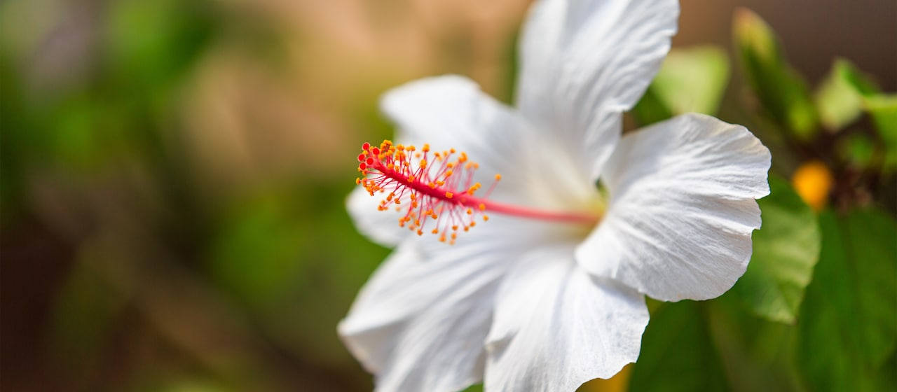 A hibiscus flower fully open