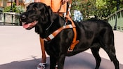 A black retriever working as a service dog