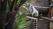 A Ring-Tailed Lemur sitting on a branch