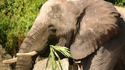 African elephant with tusks chewing vegetation