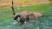 African elephant swimming in rain holding tree branch with trunk