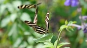 A zebra longwing butterfly perched on a leaf, with another flying behind it