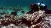 Scuba diver collecting sea urchins on coral reef
