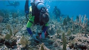 Scuba divers working to restore coral reef