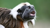 Cotton-top tamarin calling with mouth open