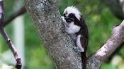 Cotton-top tamarin hanging onto tree trunk and looking down