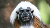 Cotton-top tamarin with shock of white hair looking at camera