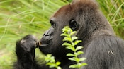 Adult western lowland gorilla eating in forest