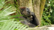 Adult western lowland gorilla leaning against tree while eating in forest